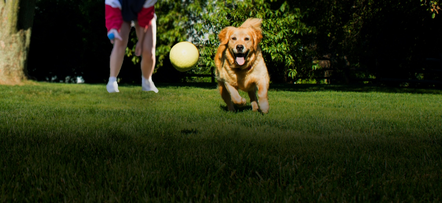 Dog running to catch ball on grass, person in shorts behind him.